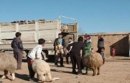 أغنام ومواد علفية لـ472 أسرة في قرى الريف الجنوبي بالحسكة