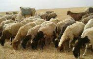 6 ملايين رأس خسارة سوريا من الثروة الحيوانية!