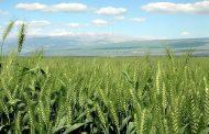 الريف الحموي: ترقب حذر لجني أفضل محصول حبوب منذ 20 عاماً.. مساحات الشعير تتفوق على القمح والبقوليات