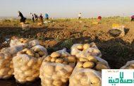 الحكومة تمرر قرار يسمح باستيراد البطاطا ضمن إجراءاتها في مواجهة