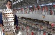 تجار الأعلاف يرفعون أسعار البيض والفروج.. والأيام القادمة تُنذر بالأسوأ!